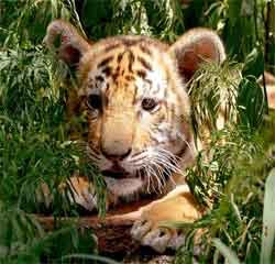 tiger-junges