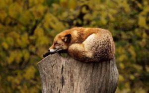 gesunder schlaf fuchs